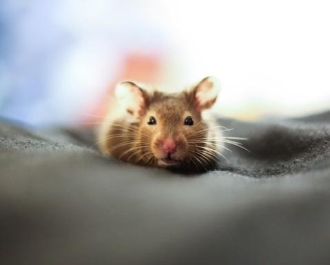 Rat brun domestique blotti sur une couette grise