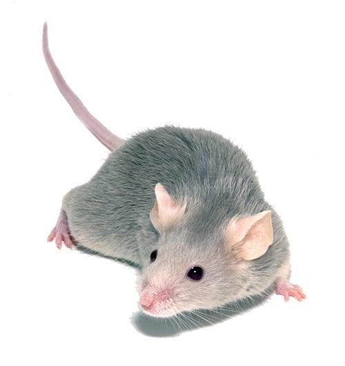 Les petites souris grises sont très communes en France
