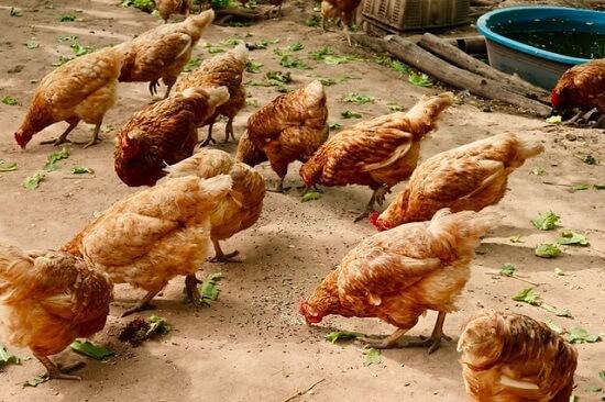 Plusieurs poules picorant des végétaux à l'intérieur d'un poulailler