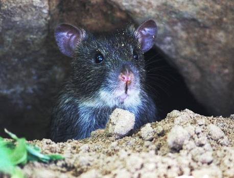 Rat gris caché dans les canalisations d'une habitation