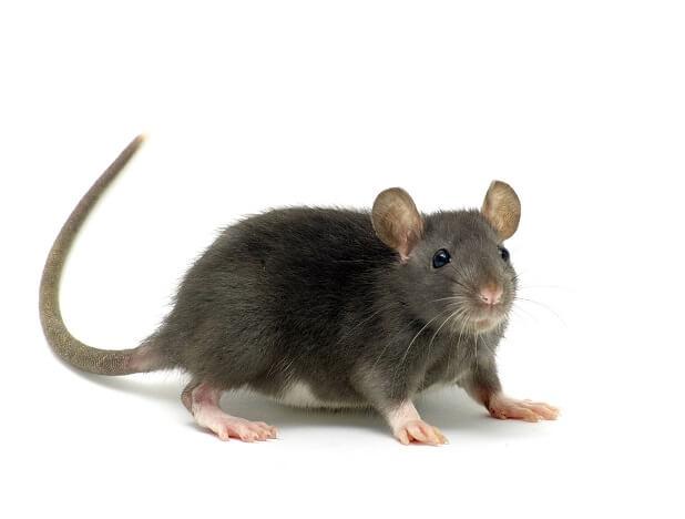 Rat gris commun