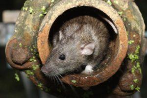 Rat dans la canalisation d'un logement à dératiser
