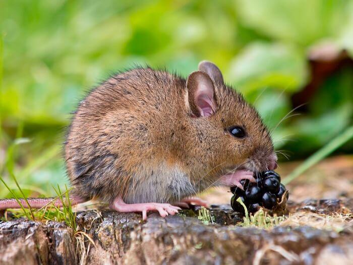 Petit rat brun qui mange des fruits dans la forêt