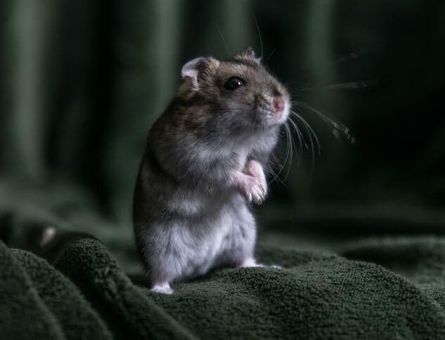 Petite souris grise dans un grenier sur une couverture