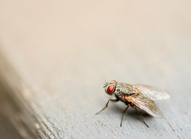 Mouche commune posée sur un rebord de fenêtre en bois