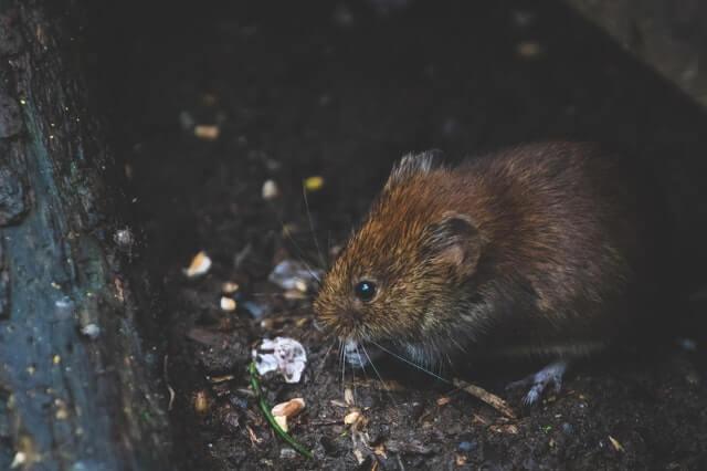 Petit rat gris qui mange des graines à proximité d'un poulailler